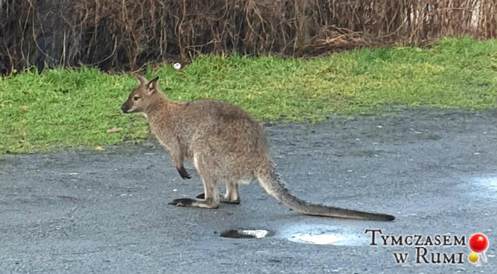 Rumia drugą Australią? Po ulicach biegał…kangur! [WIDEO]